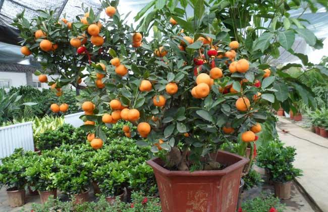 盆栽金桔养殖方法