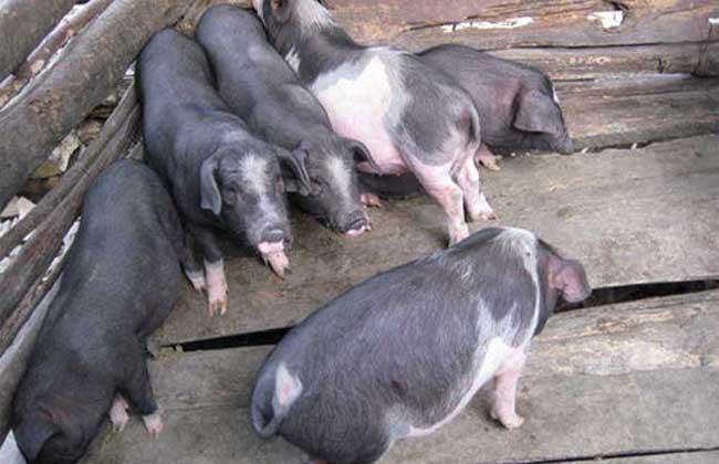 关岭猪高效养殖技术