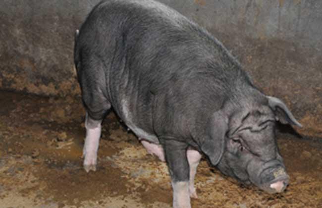 关岭猪养殖技术