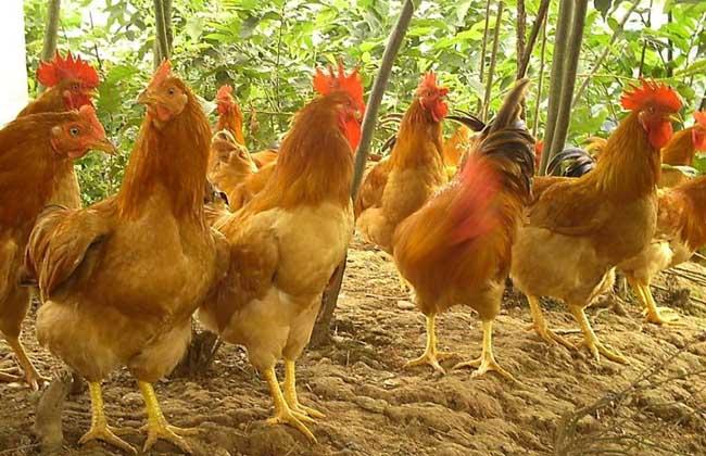 皖南三黄鸡养殖技术