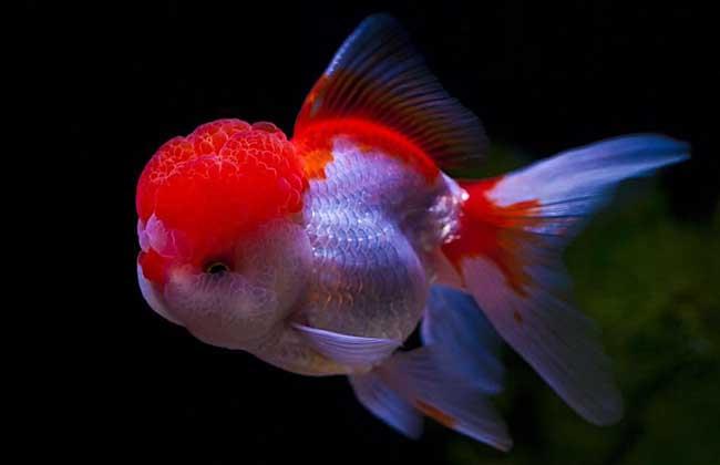 金鱼怎么分公母?