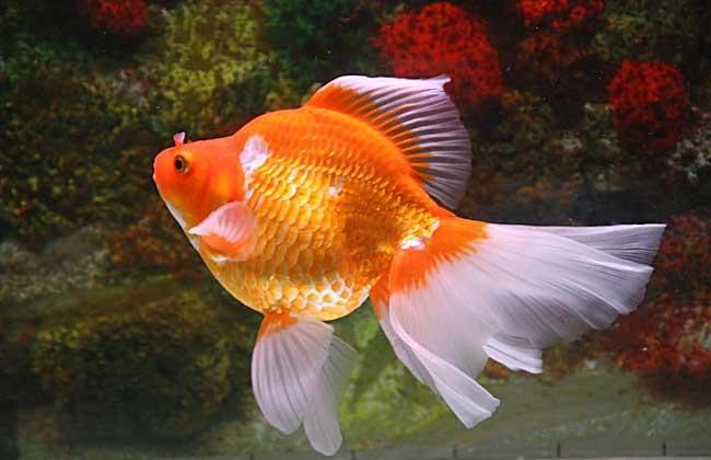 金鱼肠炎病怎么治疗?