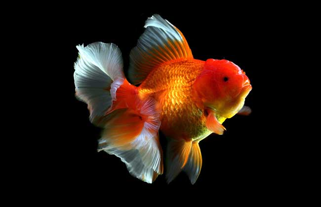 金鱼可以吃吗?