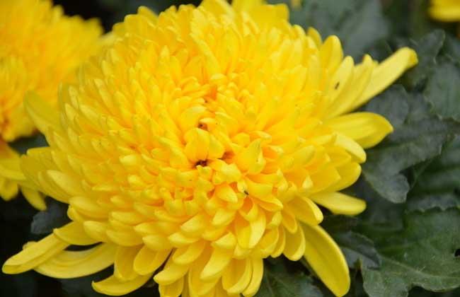 菊花的象征意义