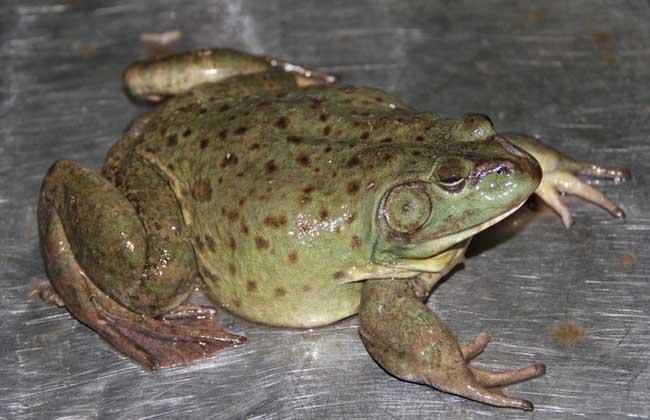 牛蛙养殖需要什么条件?