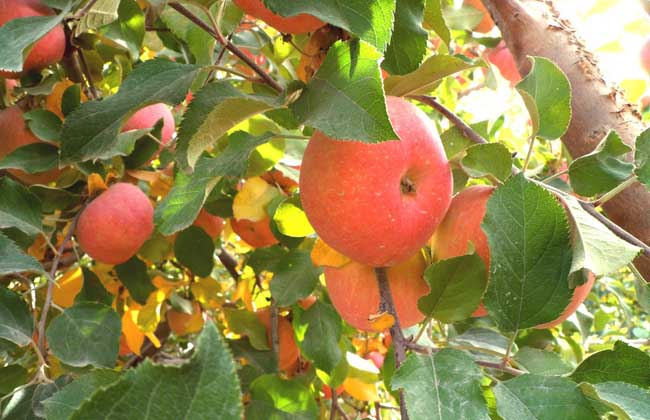 苹果树腐烂病