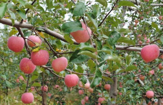 苹果树黄叶病