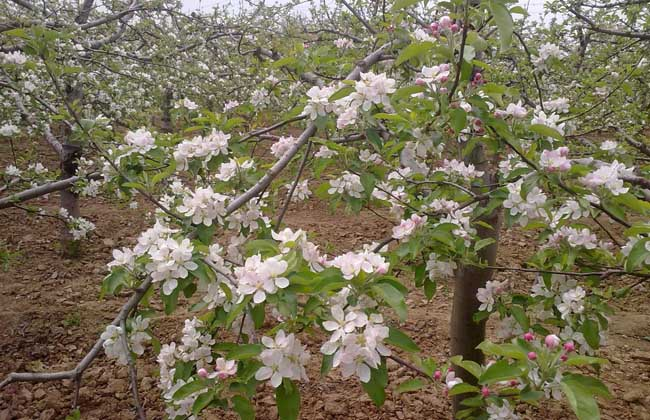 苹果树整形修剪技术