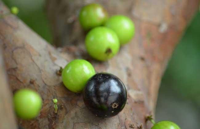 树葡萄种植技术
