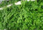 水芹菜有没有毒?