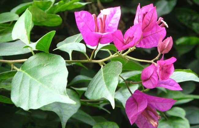 三角梅的栽培方法