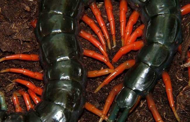 蜈蚣有多少条腿?