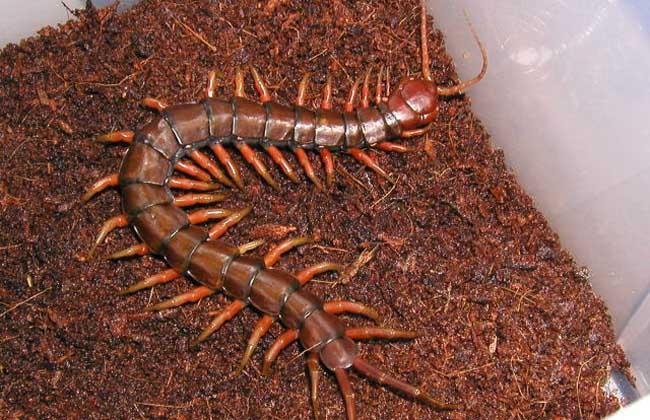 蜈蚣有多少条腿