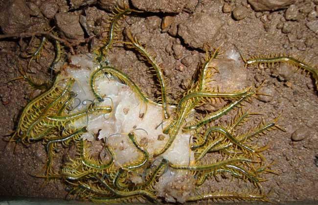 蜈蚣养殖成本
