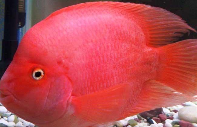 财神鱼和什么鱼一起养?