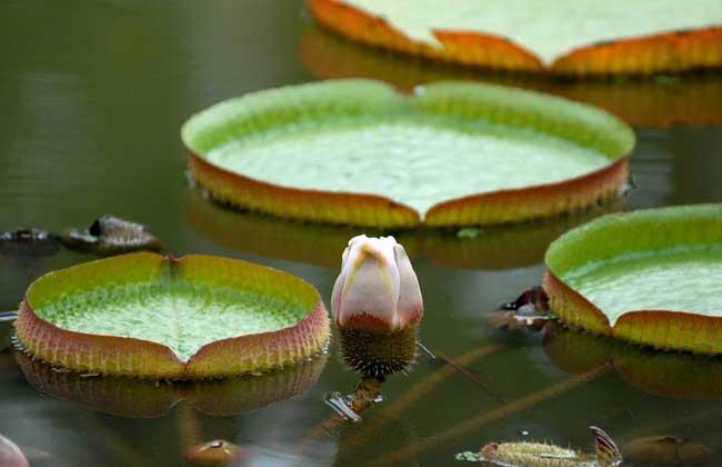 水生花卉盆花