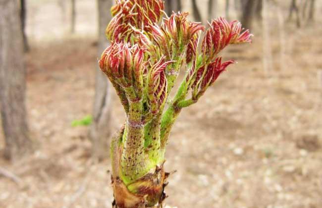 刺嫩芽种植技术