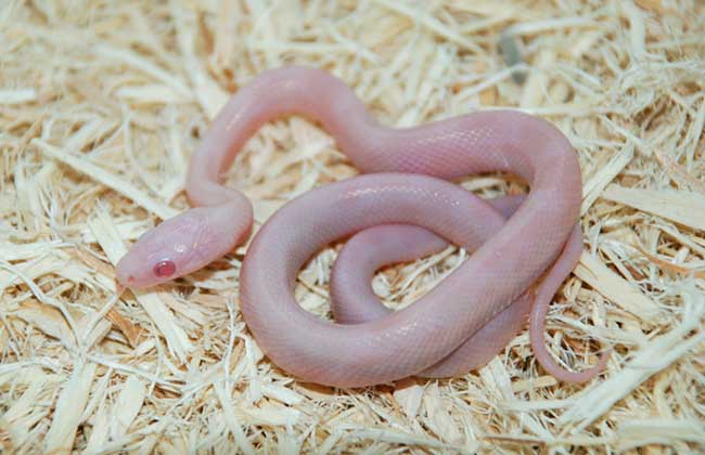 宠物蛇品种图片大全