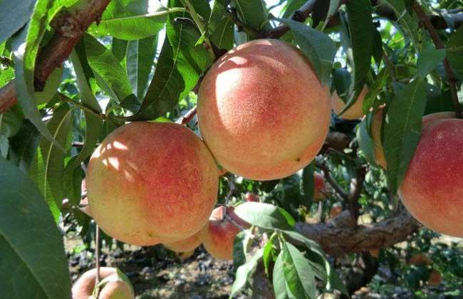 大棚桃树种植技术
