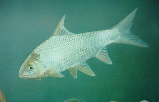 淡水鱼养殖品种图片大全(3)