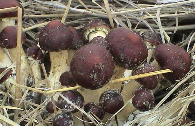 半荫蔽的地方更适合大球盖菇生长,但持续荫蔽(如大树下的树荫)会严重