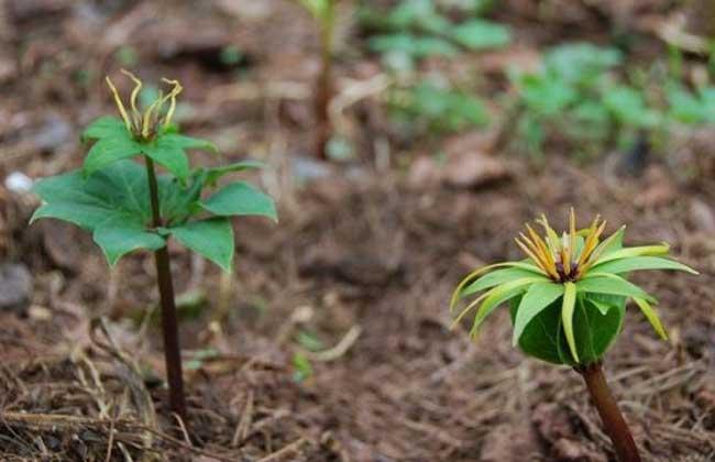 东北适合种植什么药材?