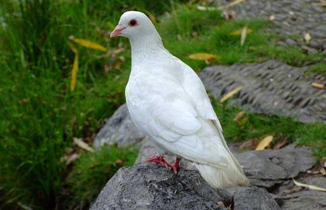 鸽子吃什么下蛋快?