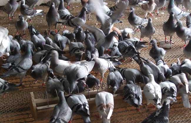 鸽子怎么分公母