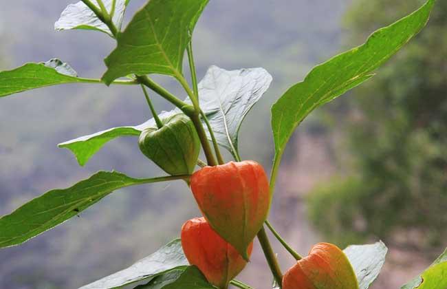 含羞果种植技术