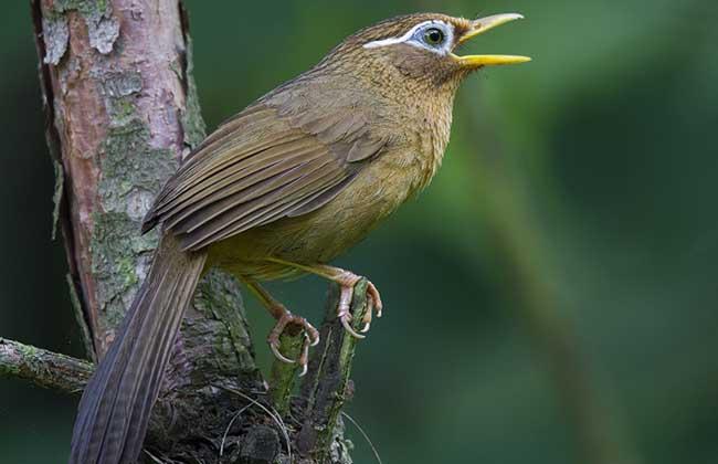 画眉鸟吃什么食物?