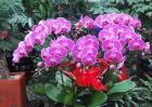 蝴蝶兰用什么土栽培?