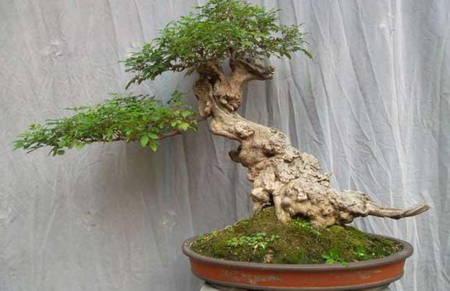 黄荆盆景制作与养护