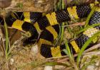 金环蛇的毒性强吗?