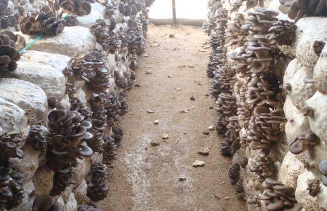 大棚平菇种植技术