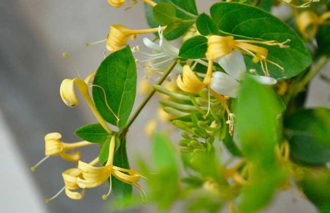 金银花种植条件