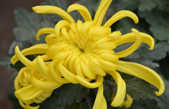 菊花什么时候种植?
