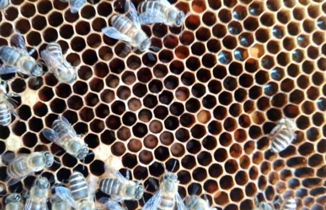 蜜蜂烂子病用什么药?
