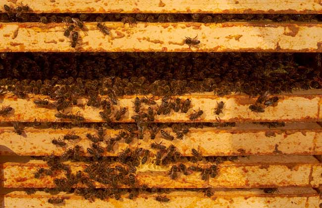 蜜蜂快速繁殖技术