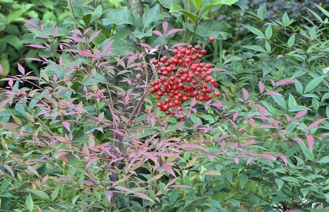 南天竹盆景制作与养护