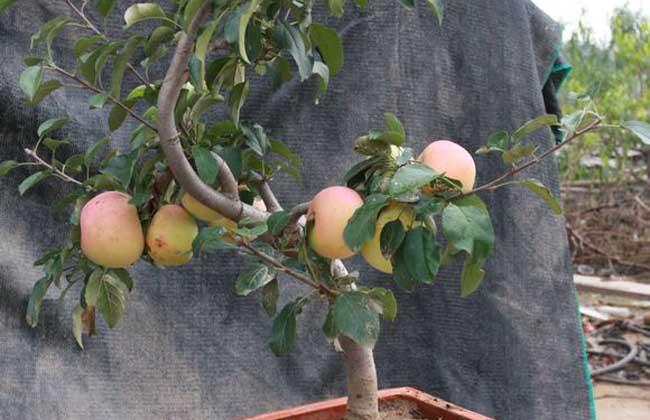 苹果盆景制作与养护