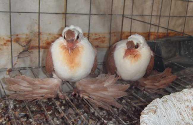 如何让鸽子快速繁殖?