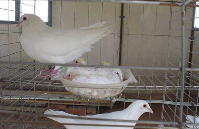 如何让鸽子快速繁殖