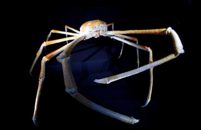 世界上最大的螃蟹有多大?