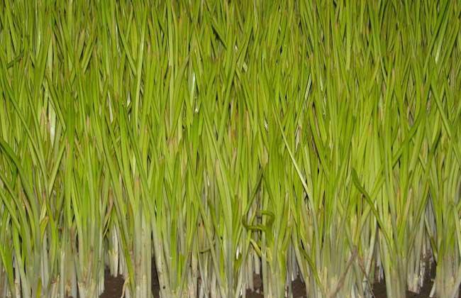 蒜黄无土栽培技术