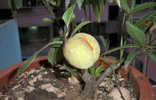 桃树盆景栽培技术