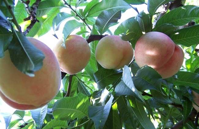 桃树什么时候种植?