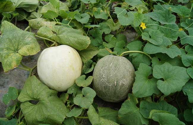 甜瓜大棚种植技术