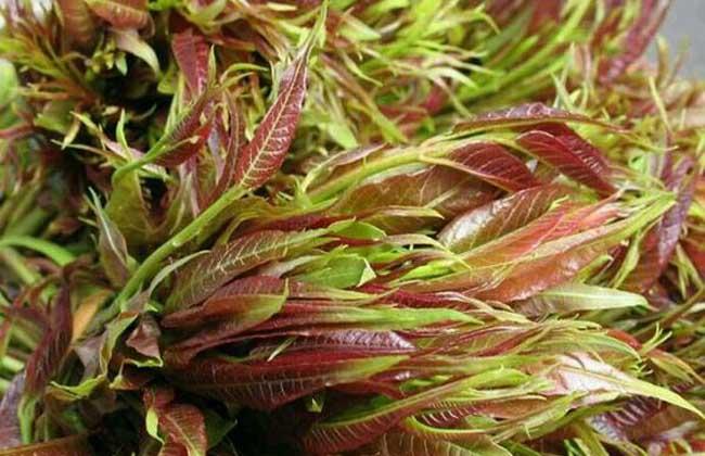 香椿芽苗菜种植技术
