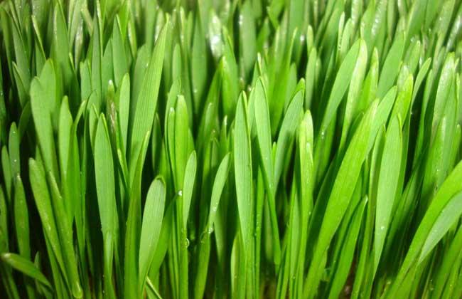 小麦草无土栽培技术