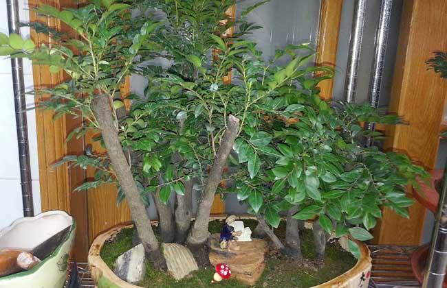小叶紫檀盆景怎么养护?